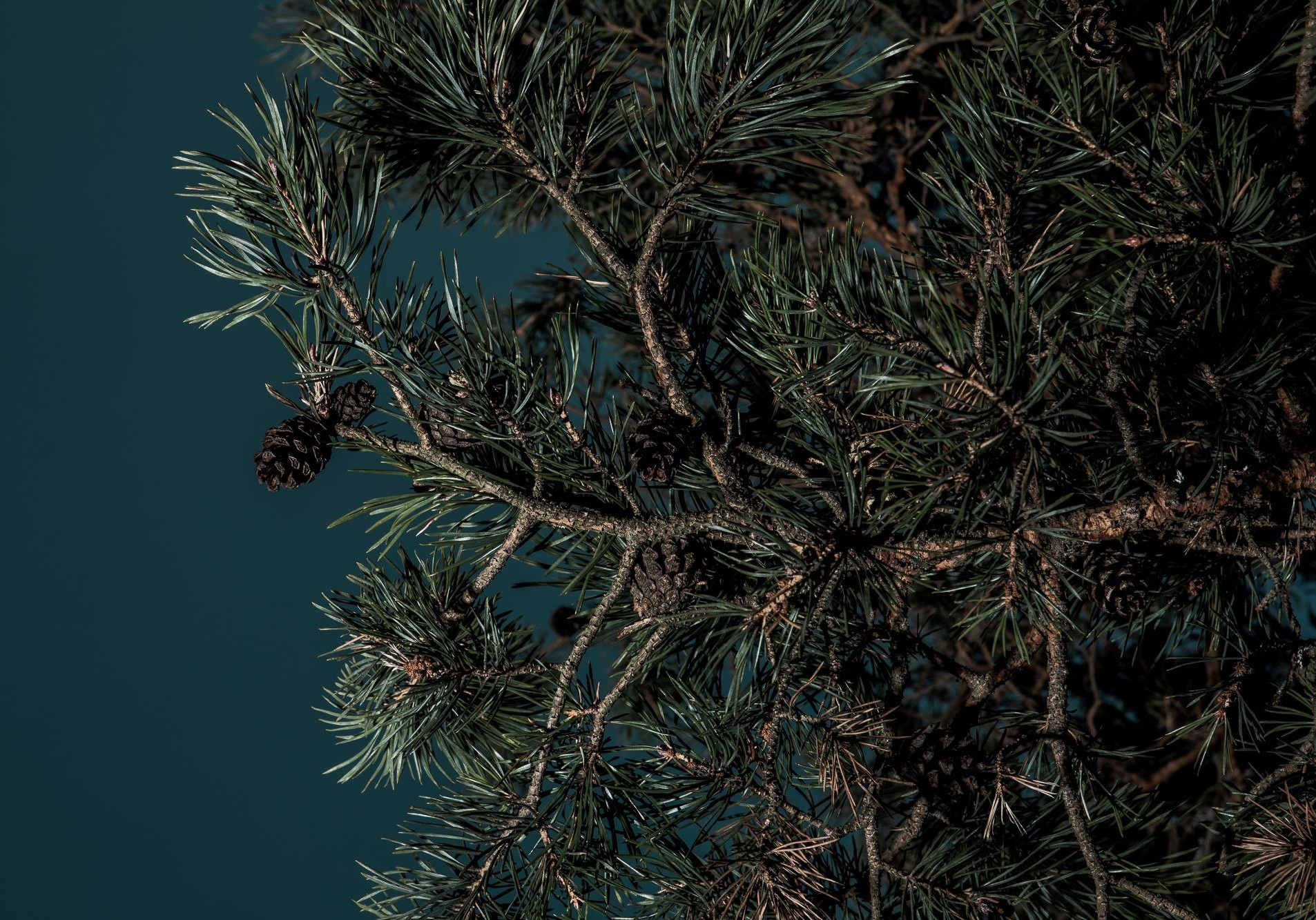 DNA Cone Pine tree